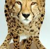 Gepard; Bild 2