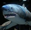 Weißer Hai; Bild 4