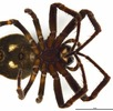 Die Spaltenkreuzspinne – Europäische Spinne des Jahres 2017; Bild 1