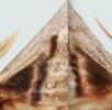 Geschlechtsdimorphismus bei Schmetterlingen; Bild 1