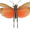 Rotflüglige Schnarrschrecke; Bild 3