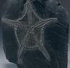 Fossiler Schlangenstern; Bild 0