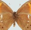 Augenflecken bei Schmetterlingen; Bild 4