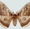 Augenflecken bei Schmetterlingen; Bild 0