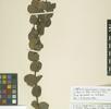 Myrtaceae; Bild 1
