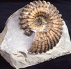Douvilleiceras mammillatum (Schlotheim, 1813); Bild 0