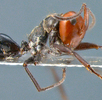 Explodierende Ameise; Bild 0