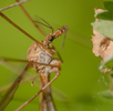 Mücken und Fliegen; Bild 1