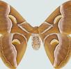 Der Ailanthus-Spinner; Bild 1