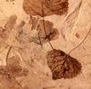 Fossile Blätter einer Pappel; Bild 3