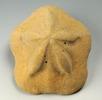 Sanddollar-Seeigel; Bild 2