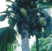 Seychellenpalme oder Seychellennuss; Bild 1