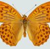 Der Kaisermantel; Bild 1