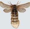 Geschlechtsdimorphismus bei Schmetterlingen; Bild 3
