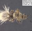 Ameisenwespen oder Spinnenameisen; Bild 0