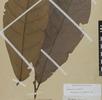 Der Kakaobaum; Bild 1