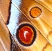 Augenflecken bei Schmetterlingen; Bild 2