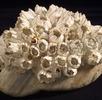 Seepocken-Kolonie auf Geröll; Bild 0