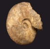 Größter bekannter Ammonit; Bild 2