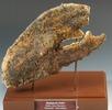 Schere eines Hummers; Bild 1