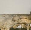 Kuhschädel der Razza Chianina; Bild 1
