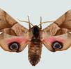 Augenflecken bei Schmetterlingen; Bild 1