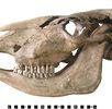 Skelett des Ochsen 4 italischen Typs; Bild 0