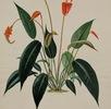 Anthurium scherzerianum; Bild 1