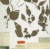Myrtaceae; Bild 0