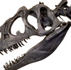 Schädel eines Allosaurus (Abguss); Bild 1
