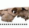 Römerzeitliches Teilskelett einer Kuh; Bild 0