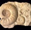 Männliche und weibliche Ammoniten; Bild 1