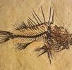 Fossil eines Drachenkopf-Fisches; Bild 0