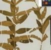 Melastomataceae; Bild 3
