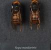 Asiatische Riesenhornisse; Bild 2