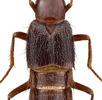 Käfer mit Boxhandschuhen; Bild 1