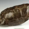 Maskarenen-Sattelrücken-Schildkröte; Bild 0