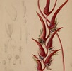 Heliconia pendula; Bild 2