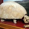 Riesengürteltier; Bild 0
