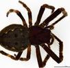 Die Spaltenkreuzspinne – Europäische Spinne des Jahres 2017; Bild 0