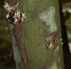Blüten des Kakaobaums; Bild 0