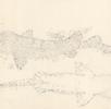 Teppichhai; Bild 0