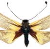 Schmetterlingshafte (Ascalaphidae); Bild 0
