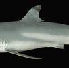 Schwarzspitzenriffhai; Bild 0