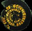 Aufgeschnittener Ammonit; Bild 4