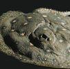 Pfauenaugen-Flussrochen; Bild 0