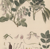 Streblorrhiza speciosa; Bild 3