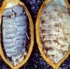 Die Früchte des Kakaobaumes; Bild 1
