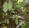 Die Früchte des Kakaobaumes; Bild 0