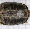 Seychellen - Klappbrustschildkröte; Bild 2